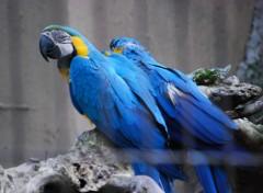 Fonds d'écran Animaux Couple de perroquets bleu