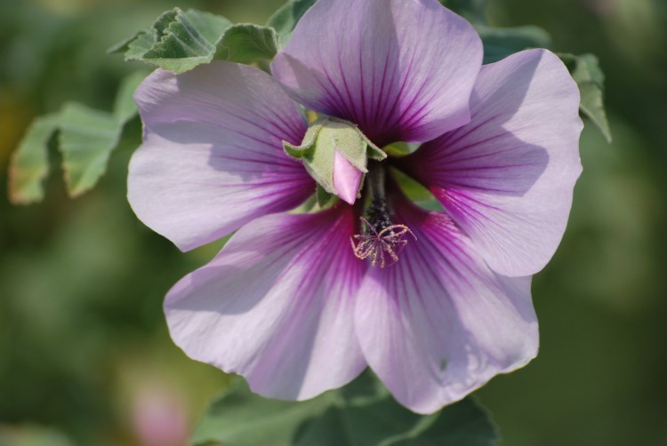 Fleur mauve et blanche