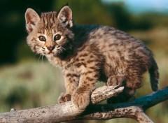 Fonds d'écran Animaux Bébé lynx