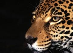 Fonds d'écran Animaux Regard de jaguar...