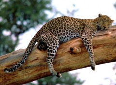 Wallpapers Animals Sieste sur une branche d'arbre