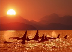 Fonds D Ecran Vie Marine Orques Categorie Wallpaper