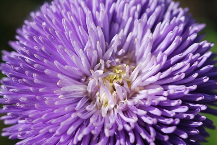 Fonds d'écran Nature Fleurs Callistephus 'Gala bleu lavande'