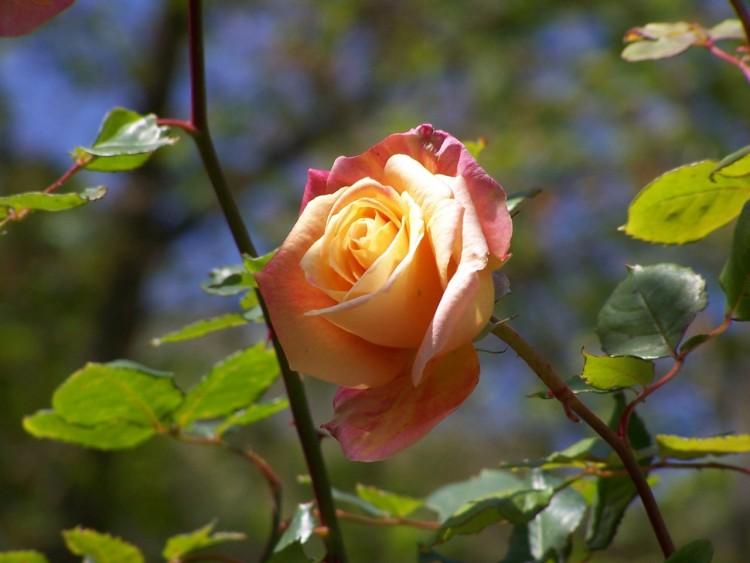 Fonds d'écran Nature Fleurs Wallpaper N°215180