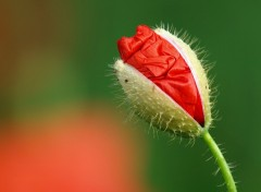 Wallpapers Nature eclosion coquelicot