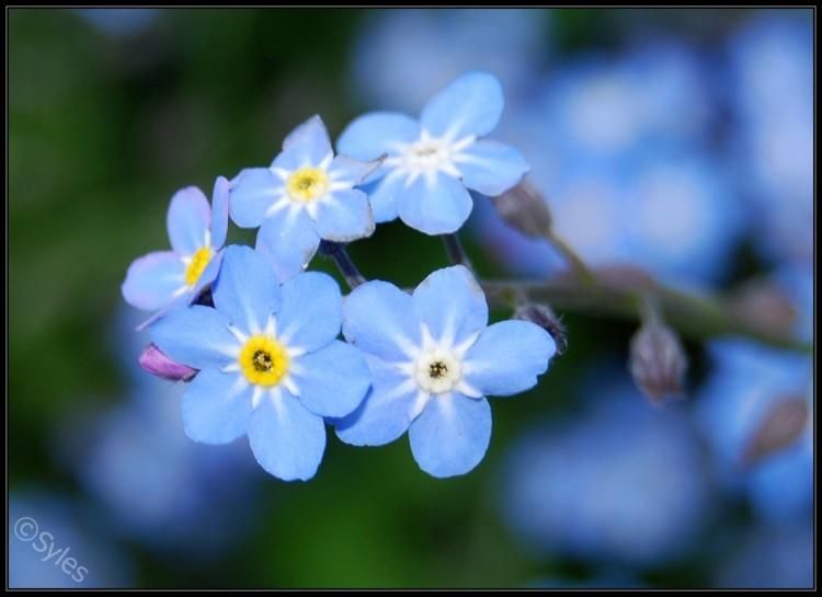Fonds d'écran Nature Fleurs Myosotis bleu