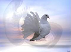 Fonds d'écran Animaux Pigeon