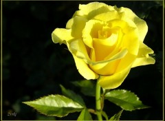Fonds d'écran Nature Rose jaune 3608b