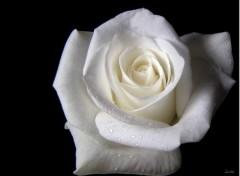 Fonds d'écran Nature Rose blanche 2
