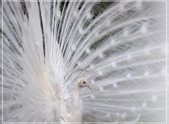 Fonds d'écran Animaux Paon blanc 22408 3b