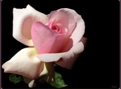 Fonds d'écran Nature Rose 111208