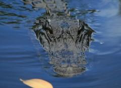 Wallpapers Animals aligator