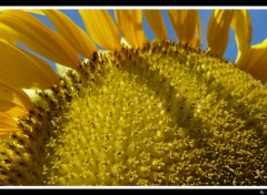 Fonds d'écran Nature Sun Flower Only
