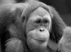 Wallpapers Animals Orang Outan en noir et blanc