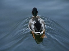 Wallpapers Animals Colvert