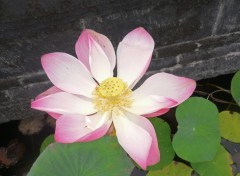 Wallpapers Nature Fleur de lotus