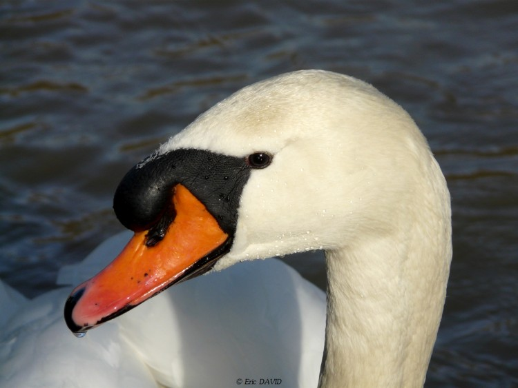 Wallpapers Animals Birds - Swans expression