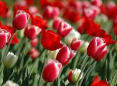 Fonds d'écran Nature Les tulipes
