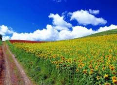 Fonds d'écran Nature Fleur Soleil 2