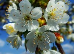 Fonds d'écran Nature Fleur de Cerisier
