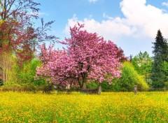 Fonds d'écran Nature Cerisier