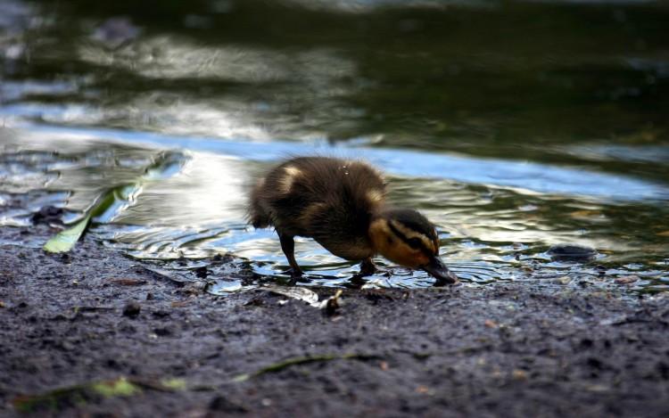 Fonds d'écran Animaux Oiseaux - Canards Bebe Canous