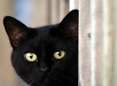 Fonds d'écran Animaux Le chat noir