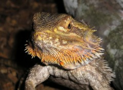 Wallpapers Animals Femelle Pogona
