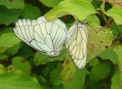Wallpapers Animals Papillons blancs