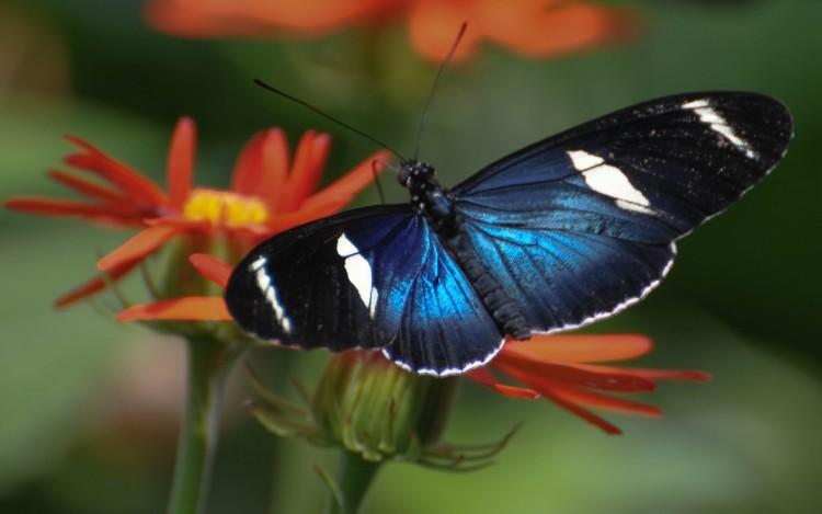 Fonds d'écran Animaux Insectes - Papillons Papillon bleu
