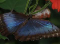 Fonds d'écran Animaux Papillon bleu