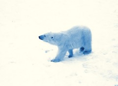 Fonds d'écran Animaux Ours polaire sent