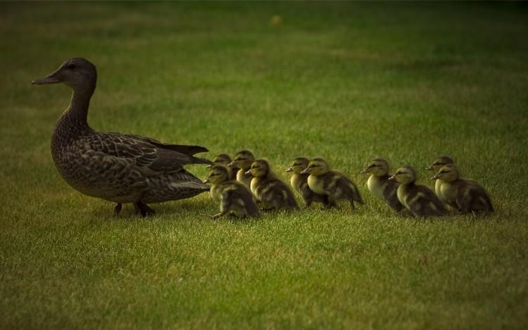 Wallpapers Animals Birds - Ducks Petite famille
