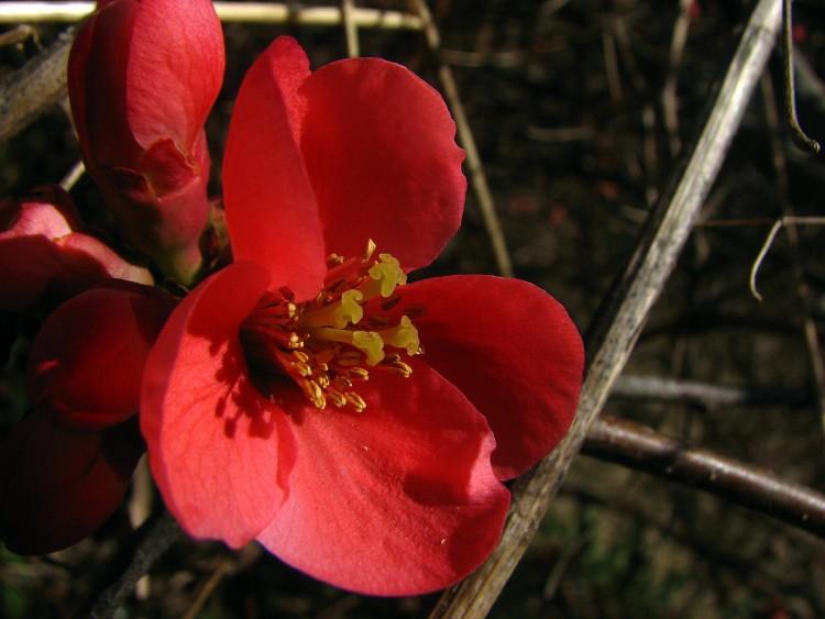 Fonds d'écran Nature Fleurs Fleur du pommier du Japon