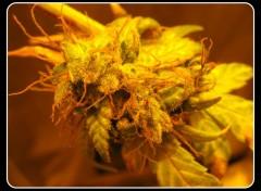 Fonds d'écran Nature weed indoOr!