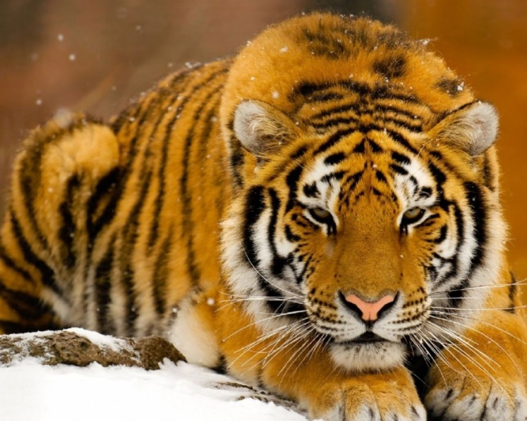 Wallpapers Animals Felines - Tigers Grand froid