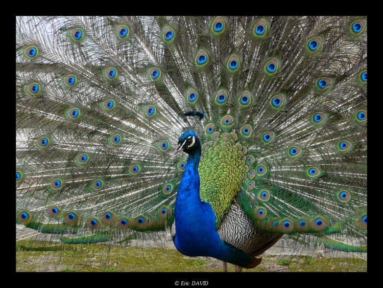 Wallpapers Animals Birds - Peacocks Paon