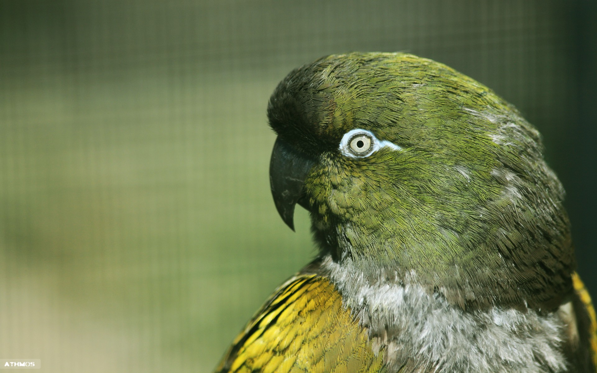 Wallpapers Animals Birds - Budgies Regard perçant