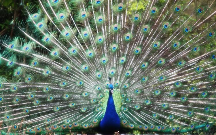 Fonds d'écran Animaux Oiseaux - Paons Paon