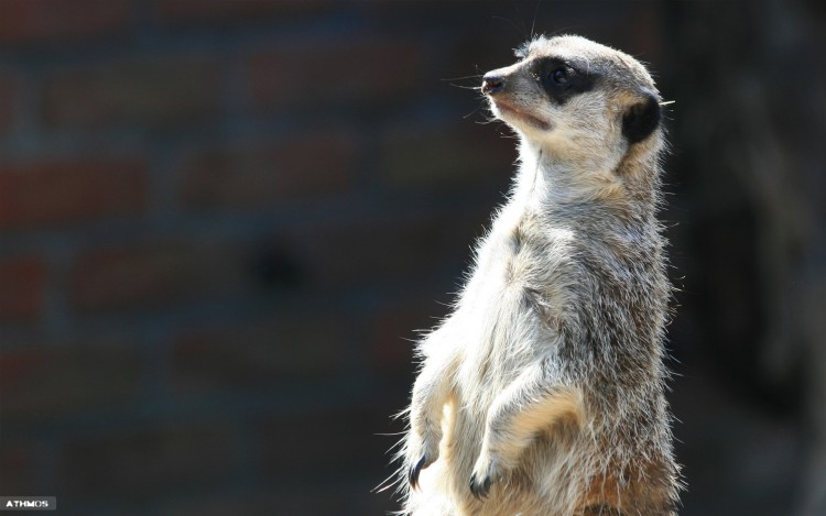 Wallpapers Animals Meerkats Attentif