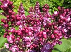 Wallpapers Nature Lilas rouge