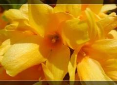 Fonds d'écran Nature Forsythia en fleur