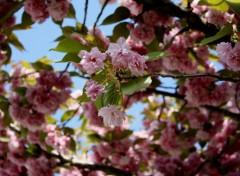 Fonds d'écran Nature Cherry flower