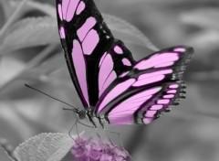 Fonds d'écran Animaux Papillon rose ( modifié )
