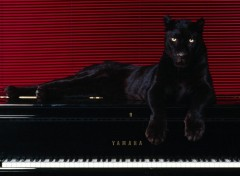 Fonds d'écran Animaux panther on piano