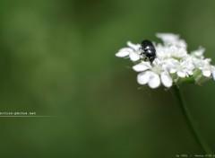 Fonds d'écran Nature Insecte noir sur lit de pétales
