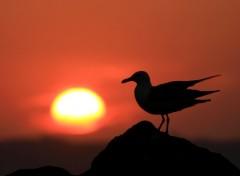 Fonds d'écran Animaux Goéland brun / Lesser Black-backed Gull