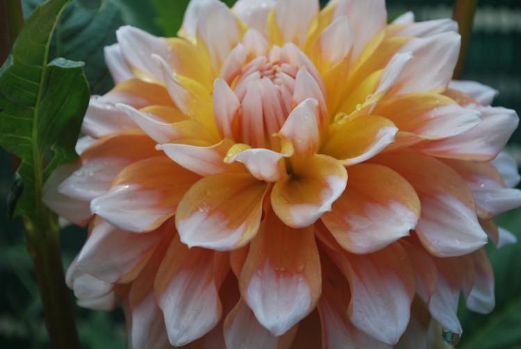 Fonds d'écran Nature Fleurs Dahlia