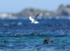 Fonds d'écran Animaux Phoque gris / Grey Seal