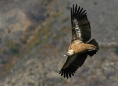 Wallpapers Animals Vautour des Baronnies